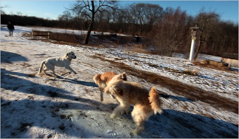 Temple Grandin, an expert in animal behavior, says it is vital for dogs to play off-leash, preferably in a wide-open area. Visit The Puppy Diaries on Flickr for video of Scout » By JILL ABRAMSON Published: February 2, 2010