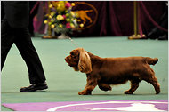 Rare breeds have a standard bearer in Stump, a Sussex spaniel who won Best in Show in 2009. Sussex spaniels rank 155th in annual registrations out of the kennel club's 167 breeds.